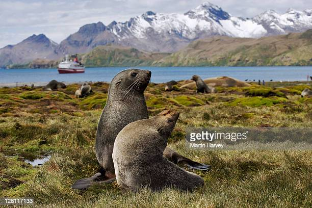 antarctic fur seals, arctocephalus gazella, with g.a.p adventures ms explorer cruise ship in background. south georgia island. dist. islands south of antarctic convergence and north of 65â°s. (pr: property released) - hairy p stock pictures, royalty-free photos & images
