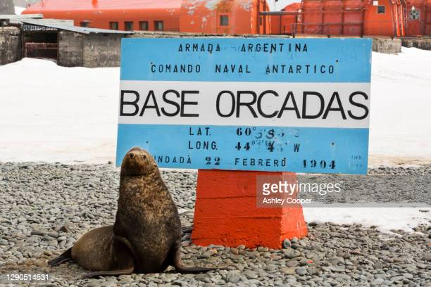 antarctic fur seals at base orcadas which is an argentine scientific station in antarctica. - south orkney island stock pictures, royalty-free photos & images