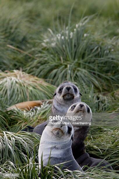 Antarctic fur seals (Arctocephalus gazella), Husvik Island, Antarctic, Polar Regions