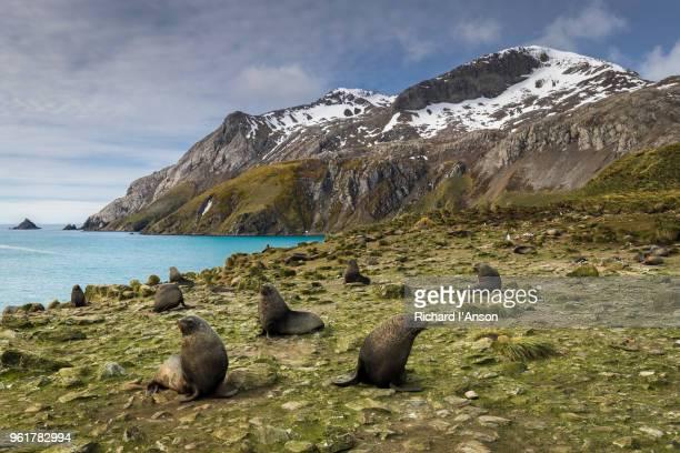 antarctic fur seals (arctocephalus gazella) on hillside - säugetier stock-fotos und bilder