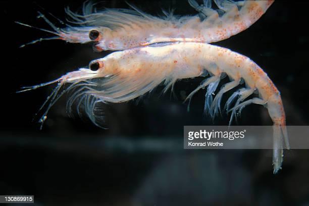 Antarctic Krill (Euphausia superba), Antarctica