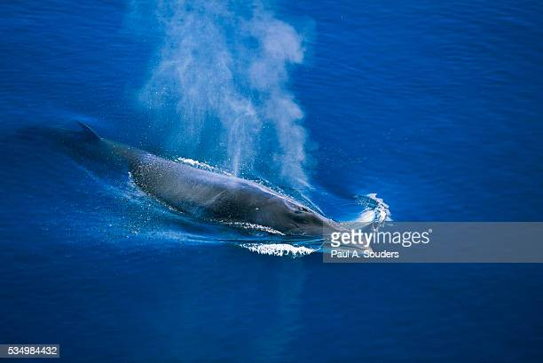 antarctic minke whale surfacing - mammal stock pictures, royalty-free photos & images