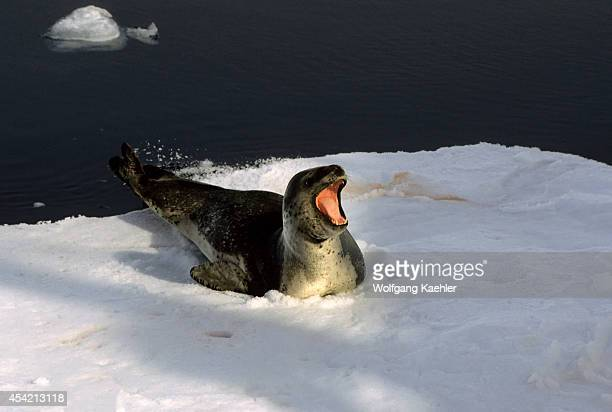 Antarctic Peninsula Area, Leopard Seal On Icefloe.