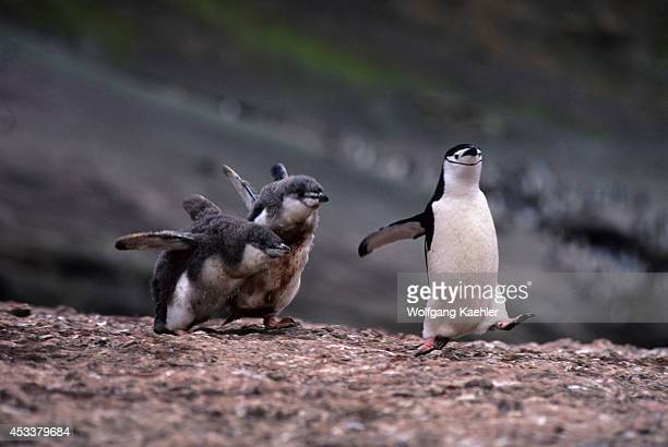 Antarctic Peninsula, Deception Is., Chinstrap Penguin With Chicks, Food Chase.