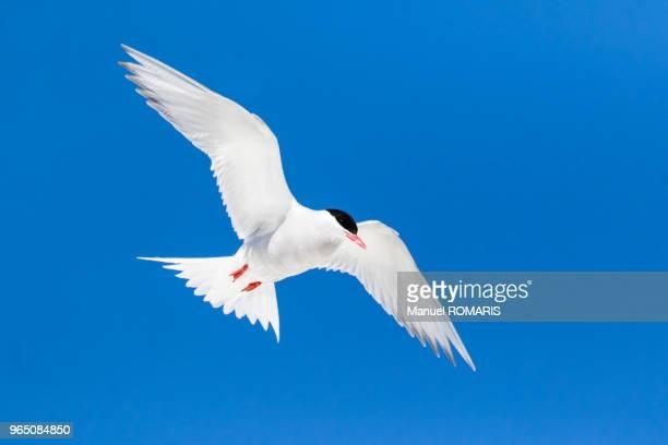 Antarctic tern, Danco Island, Antarctica
