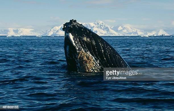 Antarctica, Antarctic Peninsula, Crystal Sound, Humpback Whale surfacing in water.