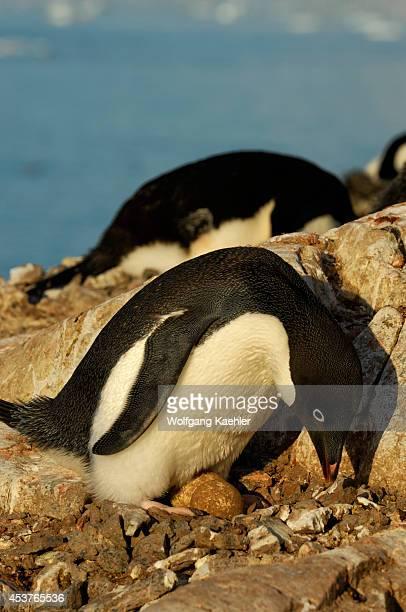 Antarctica Antarctic Peninsula Petermann Island Adelie Penguin Colony Adelie Penguin On Nest With Egg