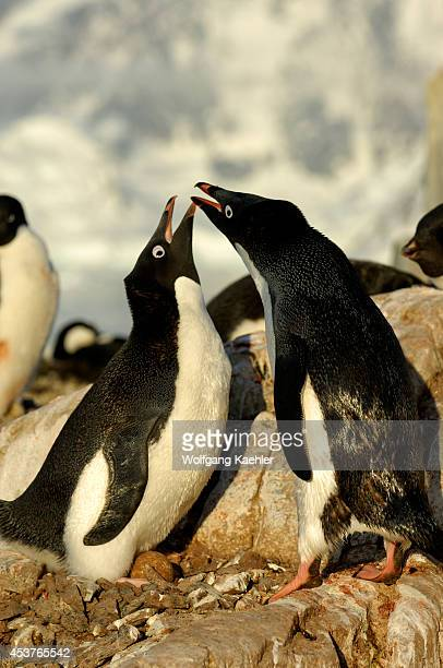 Antarctica Antarctic Peninsula Petermann Island Adelie Penguin Colony Adelie Penguins At Nest With Egg Nest Relief Ceremony