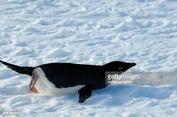 Antarctica Antarctic Peninsula Petermann Island Adelie Penguin Tobagganing Over Snow