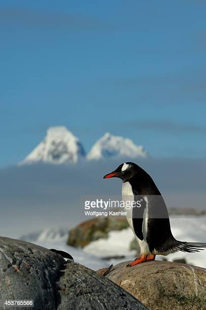 Antarctica Antarctic Peninsula Petermann Island Gentoo Penguin