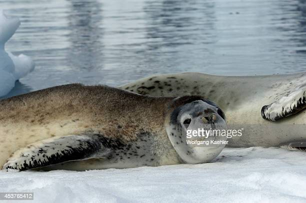 Antarctica, Antarctic Peninsula, Pleneau Island, Leopard Seal Mother With Baby On Icefloe, Baby.