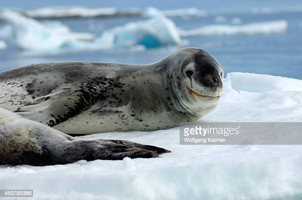 Antarctica, Antarctic Peninsula, Pleneau Island, Leopard Seal With Baby On Icefloe.