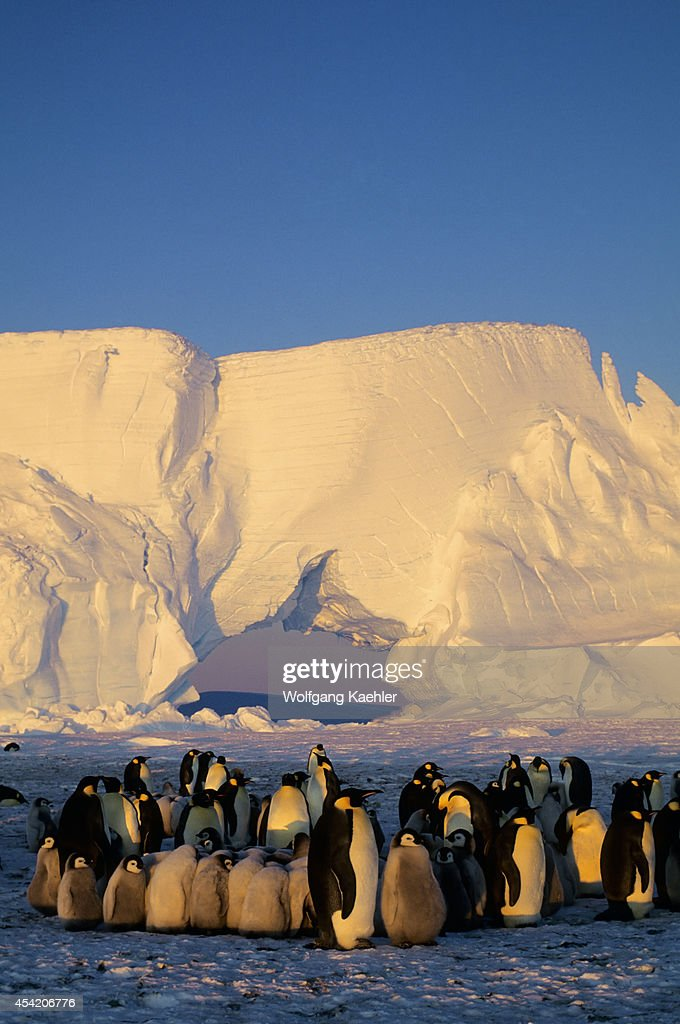 Antarctica, Atka Iceport, Emperor Penguin Colony, Chicks Huddling To Stay Warm.