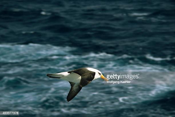 Antarctica Blackbrowed Albatross Flying Over Ocean