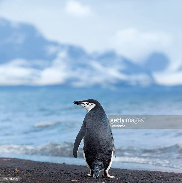 antarctica chinstrap penguin at beach - chinstrap penguin stock pictures, royalty-free photos & images