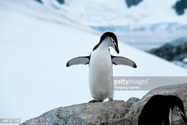 Antarctica, Chinstrap Penguin.