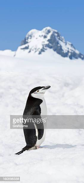 antarctica chinstrap penguin sitting in snow - chinstrap penguin stock pictures, royalty-free photos & images