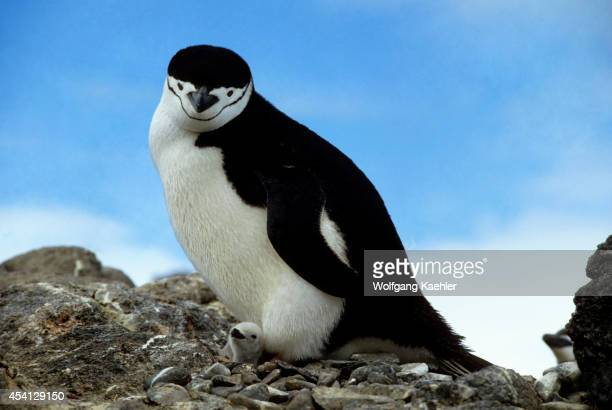 Antarctica, Chinstrap Penguin With Newly Hatched Chick.