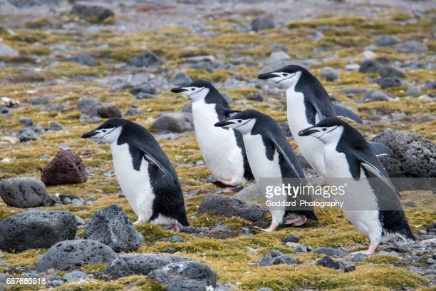 antarctica: chinstrap penguins on penguin island - south shetland islands stock pictures, royalty-free photos & images
