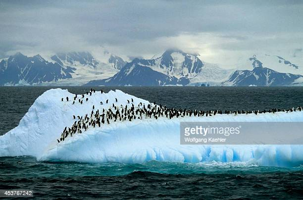 Antarctica Chinstrap Penguins Rest On Iceberg