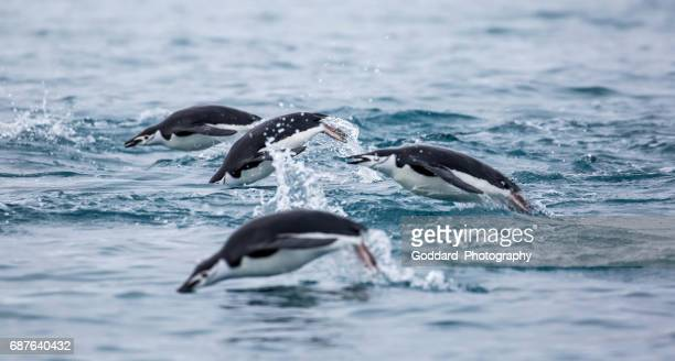 antarctica: chinstrap penguins swimming - chinstrap penguin stock pictures, royalty-free photos & images