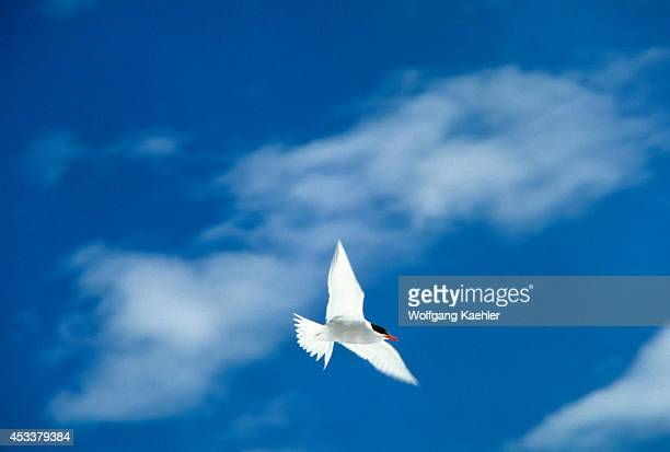 Antarctica, Deception Island, Antarctic Tern In Flight.