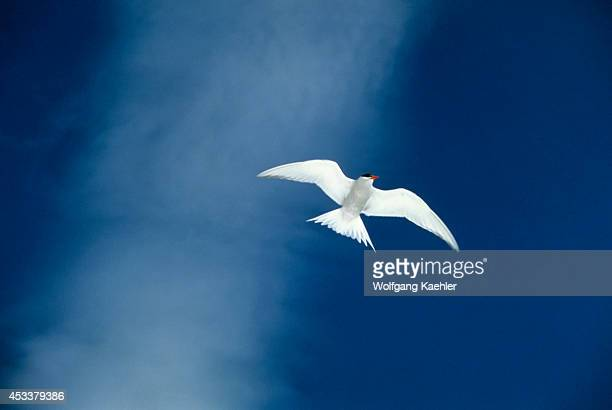 Antarctica Deception Island Antarctic Tern In Flight