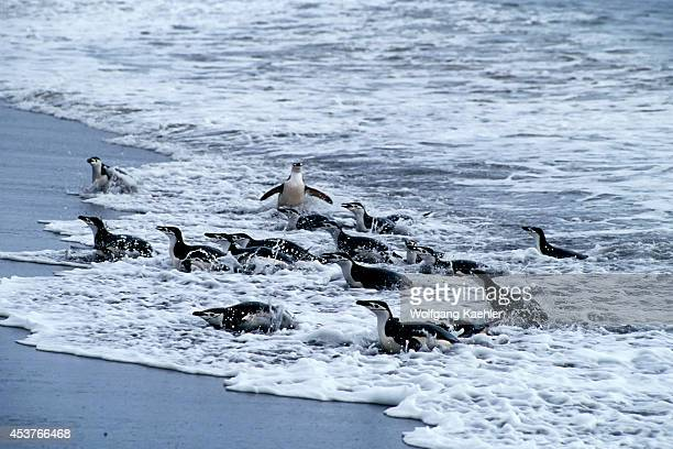 Antarctica, Deception Island, Baily Head, Chinstrap Penguins Coming Out Of Water.