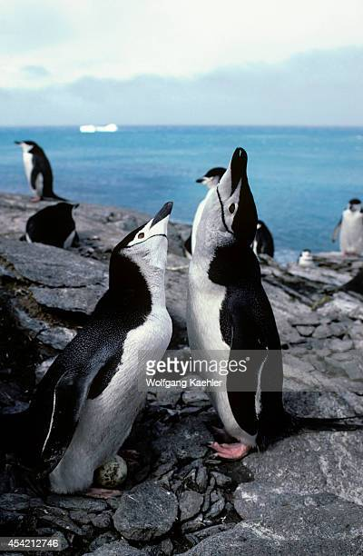 Antarctica Elephant Isl Lookout Point Chinstrap Penguin Colony Pair At Nest Mutual Display