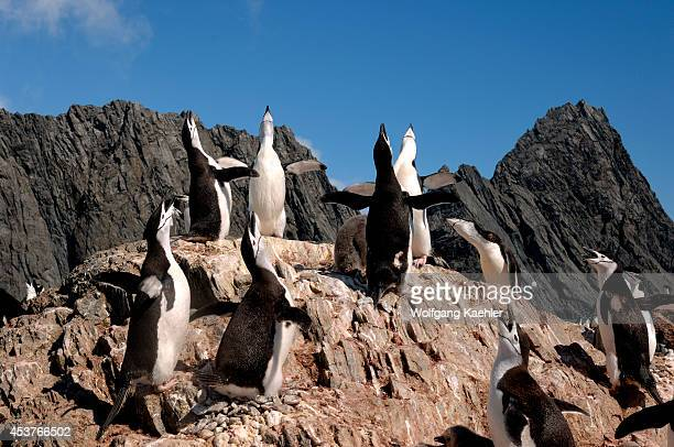 Antarctica Elephant Island Point Wilde Place Where Shackleton's Men Survived Chinstrap Penguin Colony Mutual Display