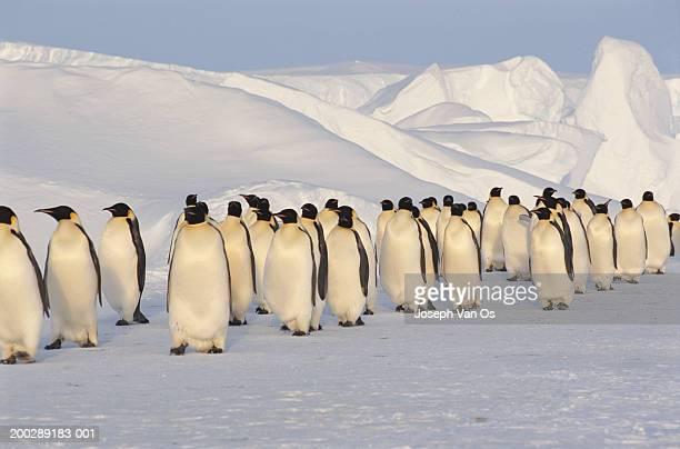 Antarctica, emperor penguins (Aptenodytes forsteri)