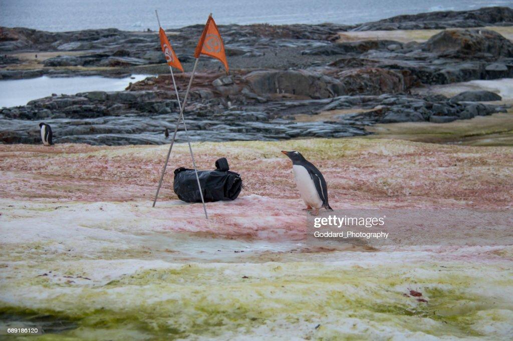 Antarctica: Gentoo Penguin at Petermann Island : Stock Photo
