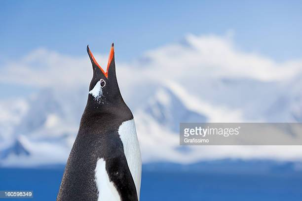 antarctica gentoo penguin shouting - one animal stock pictures, royalty-free photos & images