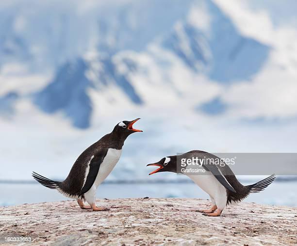 Antarctica gentoo penguins fighting