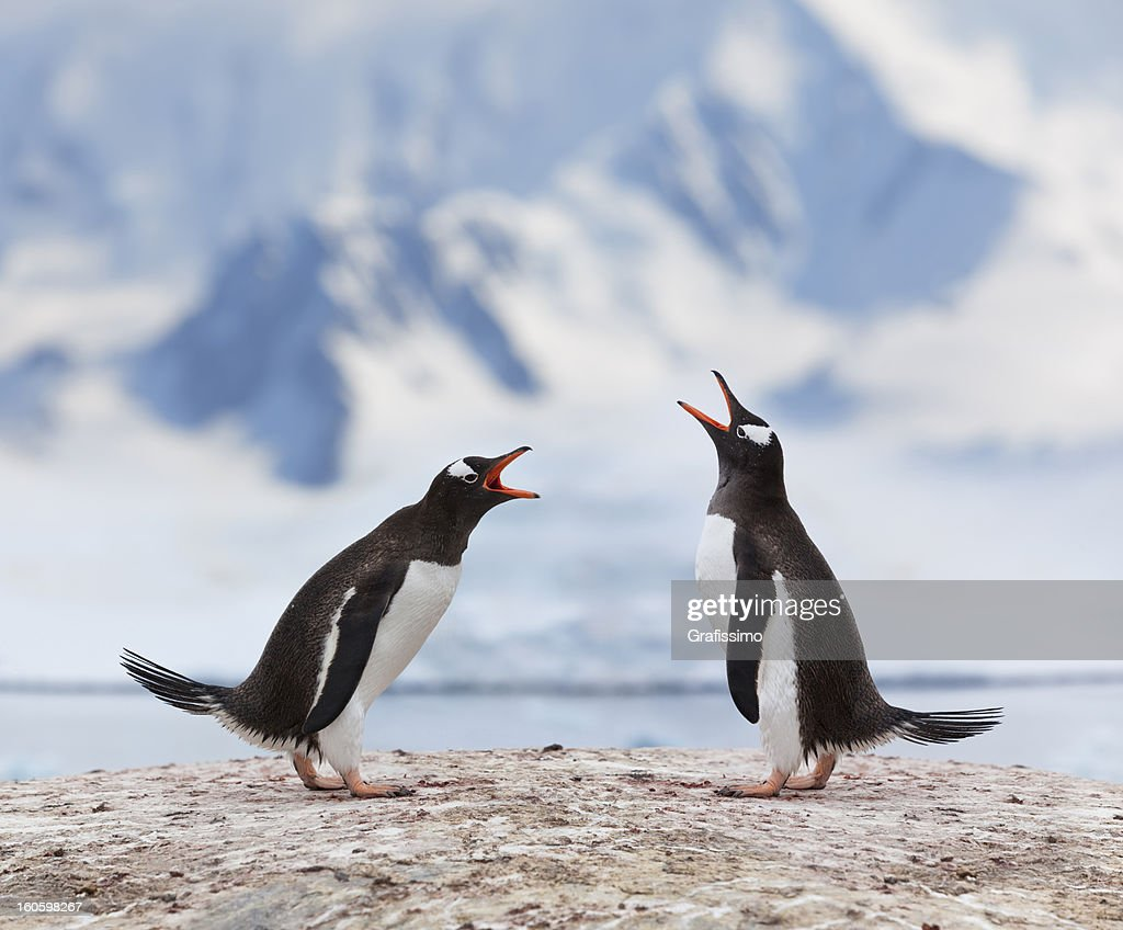 Antarctica gentoo penguins fighting : Stock Photo