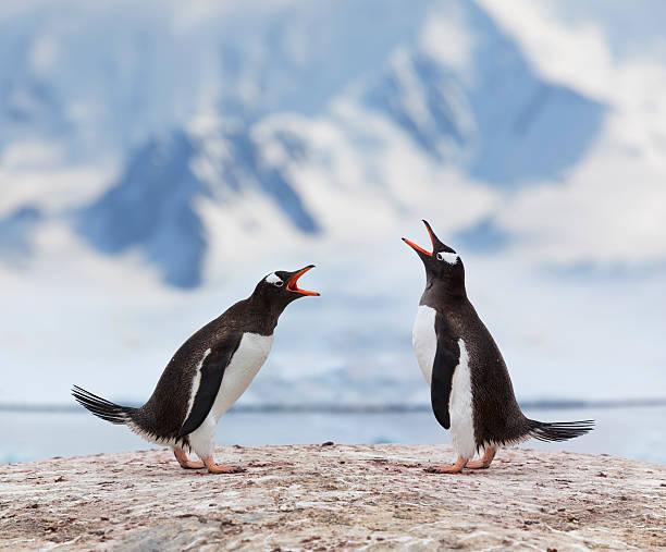 Antarctica Gentoo Penguins Fighting Wall Art