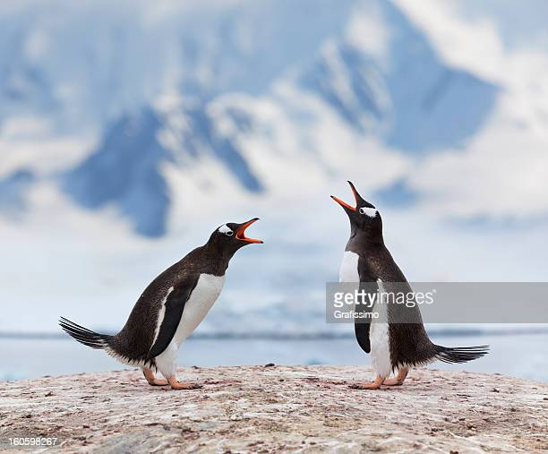 antarctica gentoo penguins fighting - pinguïn stockfoto's en -beelden