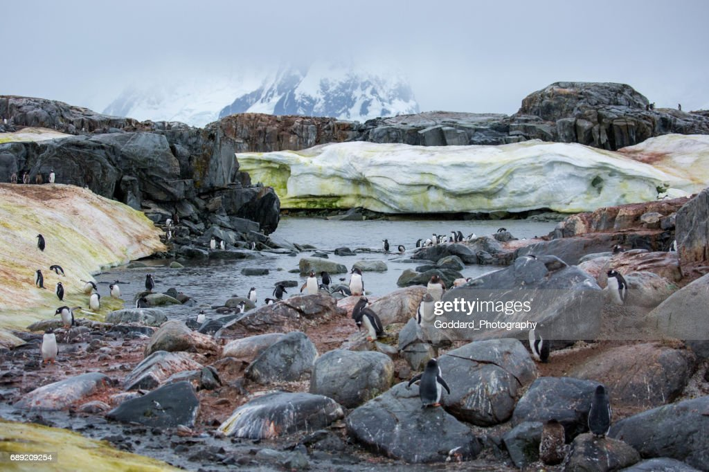 Antarctica: Gentoo Penguins on Petermann Island : Stock Photo