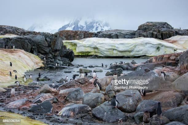 Antarctica: Gentoo Penguins on Petermann Island