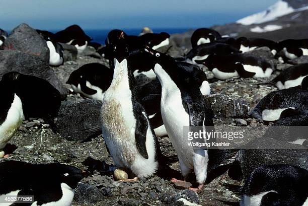 Antarctica King George Island Adelie Penguins Incubation Change 'nest Relief Ceremony'