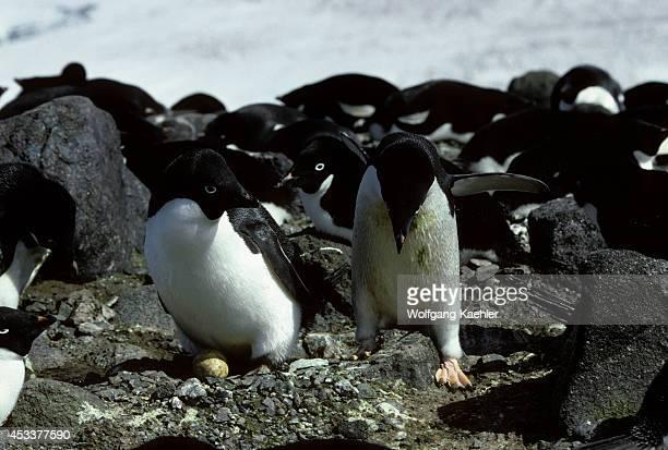 Antarctica King George Island Adelie Penguins Incubation Change 'nest Relief Ceremony'