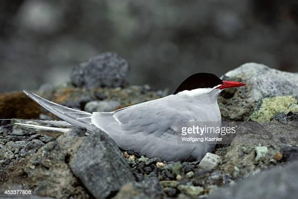 Antarctica, King George Island, Antarctic Tern Incubating Eggs On Nest.