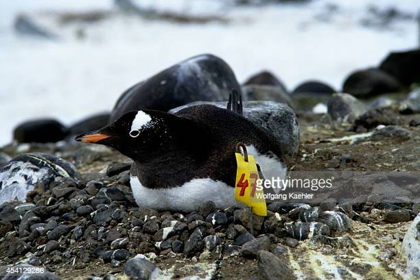 Antarctica King George Island Gentoo Penguin Colony With Marked Nests For Research