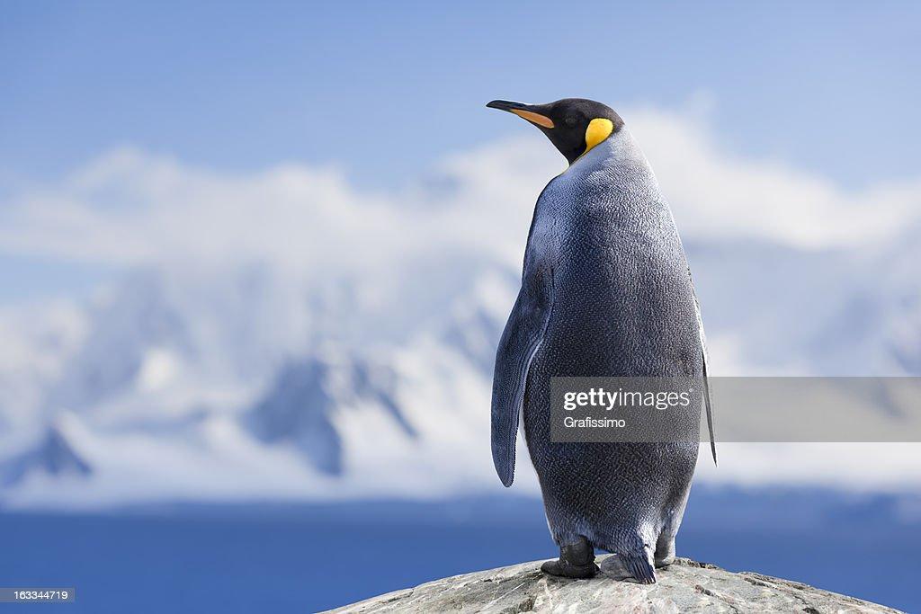 Antarctica King penguin head : Stock Photo