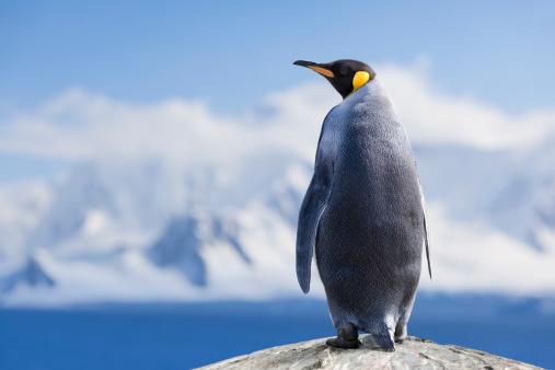 Antarctica King penguin head 163344719