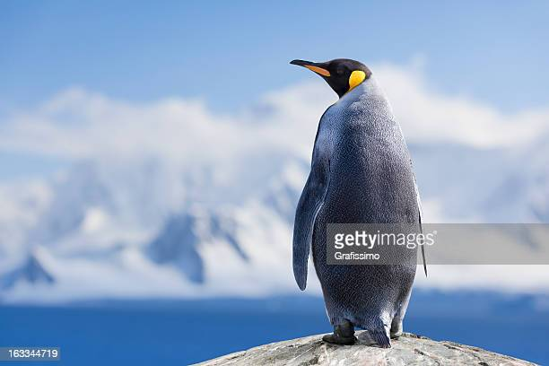 antarctica king penguin head - pinguïn stockfoto's en -beelden