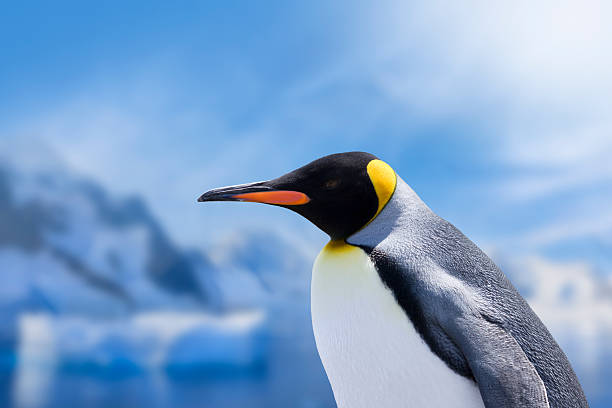 Antarctica King penguin head