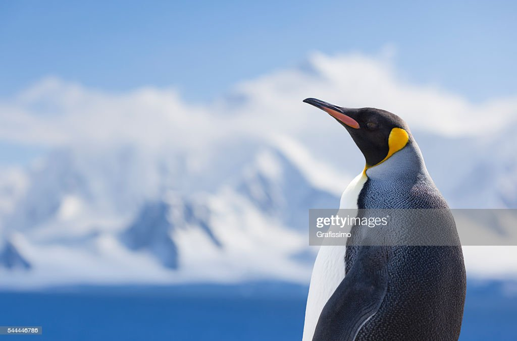 Antarctica king penguin snowy mountain : Stock Photo