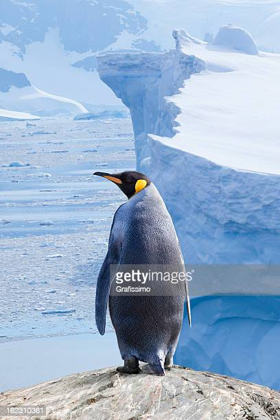 Antarctica King penguin with iceberg