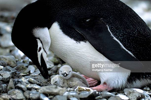 Antarctica, Livingston Island Chinstrap Penguin With Newly Hatched Chicks.